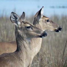 Unafraid. #deer #islandliving #deweesisland #naturetherapy