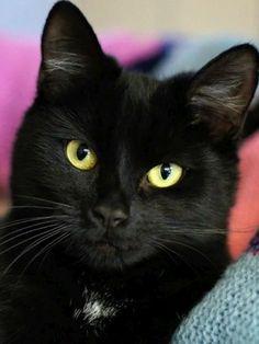 Orange Cats, White Cats, Black Cats, Black Kitty, Bombay Cat, Cool Cats, I Love Cats, Crazy Cats, Beautiful Cats