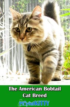 American Bobtail – is a breed of short-tailed cats. Hunter glance, swaying walk and hare tail make them look like wild cats. Bobtails – are smart and attached pets to human being. Furthermore, their intellect is estimated higher than medium. Kittens Cutest, Cats And Kittens, Cute Cats, Tabby Cats, Kitty Cats, Cats Meowing, American Bobtail Cat, Why Do Cats Purr, Cat Facts