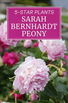 'Sarah Bernhardt' peonies are loved by gardeners the world over. This variety has won almost every peony award possible, including the coveted Royal Horticultural Society's Award of Garden Merit. Find out what makes this peony so special and why it deserves a place in your flower garden. Peonies, Garden, Flowers, Plants, Garten, Florals, Gardens, Planters, Flower