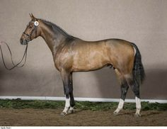 Dutch Warmblood stallion Pilothago