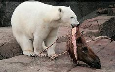 Feeding time at a zoo in Denmark.