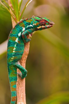 Chameleon on the branch... By Tambako the Jaguar