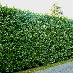 """10 Evergreen Shrubs for Privacy (Zone: 8 – While an impressive fence does provide a welcome sense of privacy, even the nicest ones can have the unfortunate effect of shouting """"keep out"""". Tall, thick, and Shrubs For Privacy, Privacy Trees, Garden Privacy, Privacy Hedges Fast Growing, Fast Growing Trees, Cerca Natural, Shrubs For Landscaping, Landscaping Ideas, Modern Landscaping"""