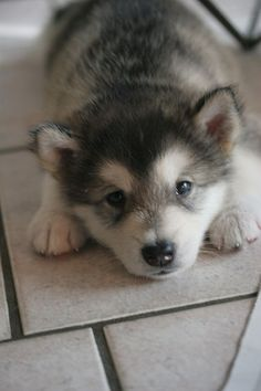i just want a husky puppy