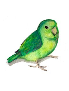 Luna Cheeper - Watercolor and Pen and Ink Art Print Parrot Green Pacific Parrotlet Bird Illustration