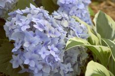 Hydrangea plants | Endless Summer® Collection