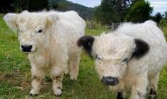 Miniature cows! So adorable!