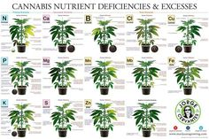 Cannabis nutrient deficiencies