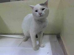 KILLED at ACC! Nooo!!! TO BE DESTROYED 11/19/14 * PRETTY KITTY!! Manhattan Center * Beginner Bubble interacts with the Assessor, solicits attention, is easy to handle and tolerates all petting. *   My name is BUBBLE. My Animal ID # is A1019000. I am a male white and gray domestic sh mix. The shelter thinks I am about 3 YEARS old.  I came in the shelter as a STRAY on 10/28/2014 from NY 10128