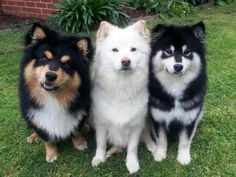 Finnish Lapphunds