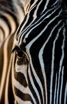 Zebra in the Early Morning Sun by julian john on 500px