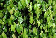 Jak pěstovat ficus benjamina