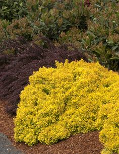 Golden Nugget™ Dwarf Japanese Barberry is an exceptional golden barberry in an exciting dwarf form. Displays attractive, non-burning foliage with a golden-orange cast most of the season. Excellent choice for adding low-maintenance color to the landscape from spring to fall. Brightens beds and adds vibrant contrast to shrub borders. Heat and drought tolerant when established. Deciduous. Zones 4-8