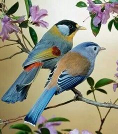 Silver eared Mesias, Southeast Asia - via How to Be, Book Author on FB