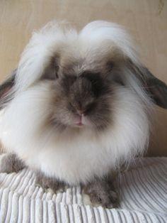 mini lion lop bunny