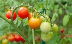 Beginner Tips for Growing Tasty Tomatoes - Growing tomatoes is a great way to get your hands dirty in the gardening business. Tomato plants can produce a lot of fruit and they're relatively easy to grow, though making sure you get a healthy crop takes som Growing Tomatoes From Seed, Growing Tomato Plants, Varieties Of Tomatoes, Growing Tomatoes In Containers, Growing Vegetables, Grow Tomatoes, Cherry Tomatoes, Garden Web, Garden Soil
