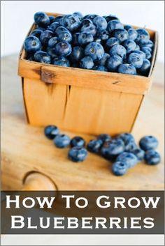 Growing blueberries - For more, visit http://www.pinterest.com/AliceWrenn/