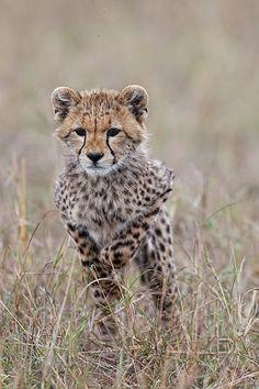 Africa | cheetah cub jumping. Masai Mara, Kenya | ©Paul and Paveena Mckenzie ~ Wildencounters