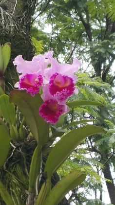 Cattleya Orchid, Orchids Garden, Bonsai, Flowers, Woods, Plants, Gardening, Gardens, Buen Dia