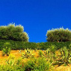 My mediterranean garden #olivetree #yucca #agave