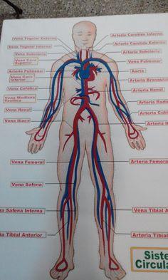 Circuito Circulatorio : Mejores imágenes de sistema circulatorio en circulatory