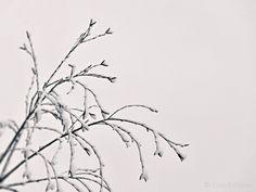 https://flic.kr/p/226SxQ2 | Snowy branches/ Havas ágak | Havas, ágak,  Snow, branches, Schnee, Zweige, minimal