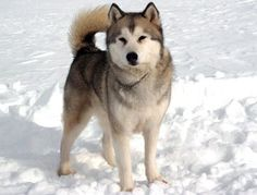 """Maya"" from the movie Eight Below ...........click here to find out more http://googydog.com"