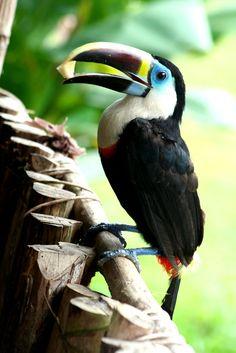 En la selva, de la Reserva Forestal el Caura Edo. Bolívar, Venezuela. #bird #fauna