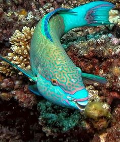 Coral can't live without parrotfish! These beautiful fish help keep Caribbean coral reefs growing by grazing on algae that can smother them. Some male parrot fish maintain harems of females. If the dominant male dies, one of the females will change gender and color and become the dominant male!