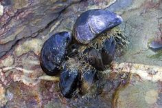The byssal, or byssus, threads are strong, silky fibers often called beards. Learn how mussels make a use these to move or remain stationary. Access To Clean Water, Clean Up, Climate Change Problems, Idriss Aberkane, Ship Bottom, Beneath The Sea, National Laboratory, Water Pollution, Oil Spill