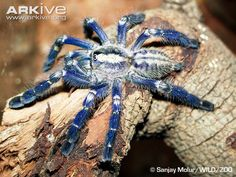 Peacock parachute spider videos, photos and facts - Poecilotheria metallica - ARKive