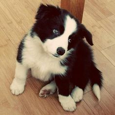 Beautiful collie puppy.