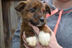 Meet Bobby, a Petfinder adoptable Labrador Retriever Dog | Paris, KY | Primary Color: Brindle Age: 0yrs 0mths 10wks