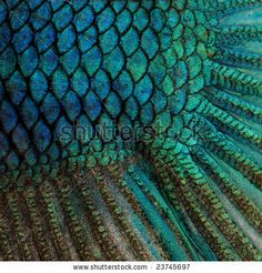 Close-up on a fish skin - blue Siamese fighting fish - Betta Splendens in front of a white background by Eric Isselee, via Shutterstock
