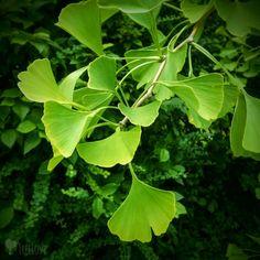 Ich mag diese Blattform des Ginkgo-Baums ...