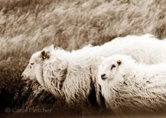 Icelandic Sheep in the Wind  Fine Art Photography by CarolFletcher