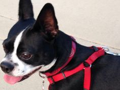"""My Boston Terrier """"Figgy"""" (2 yrs old) at Silverlake Reservoir, Los Angeles"""