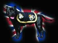 Staffordshire bull terrier mascot of the staffordshire regiment