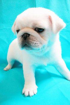 Adorable white pug.