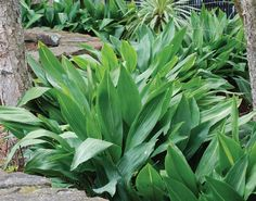Cast Iron Plant - Monrovia - Cast Iron Plant Plant Description This plant is as tough as its name! It will practically grow in the dark. Excellent for those difficult to fill areas in deep shade. Spreads by underground stems. Evergreen.