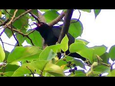 Asian koel sounds coo ooh coo ooh-Cuckoo Bird