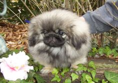 Dressing Doggy Up For Halloween Baby Animals, Funny Animals, Cute Animals, Fu Dog, Dog Cat, Cute Puppies, Dogs And Puppies, Doggies, Pekingese Puppies