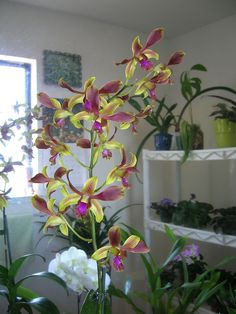 pink and yellow orchids