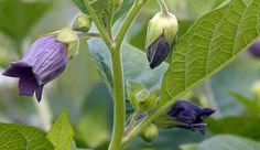 Belladonna, or deadly nightshade. Careful use and dosage can counteract poison. In unexperienced hands, it can kill even quicker.