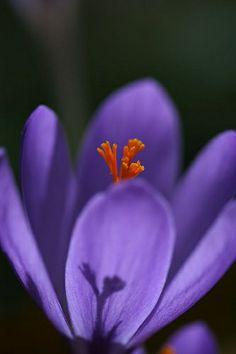 La Flor del Azafran by Silvia and Juan, via Flickr