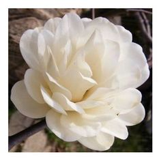 Magnolia x loebneri Pirouette aka Magnolia Mag's Piroutte - citrus scented, blooms April Small Flowers, White Flowers, Pruning Rhododendrons, Companion Planting, Shades Of White, Garden Inspiration, Garden Ideas, Small Gardens, Hedges