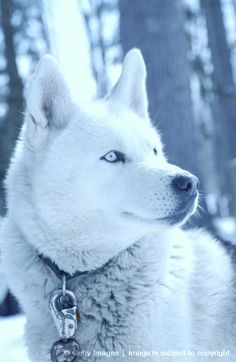 MoonGaze, 16 Moons old, female, no mate or pups, father is Thunder, mother is Summer, beautiful as snow, she's very outstanding, loves her father deeply... (RP by me)