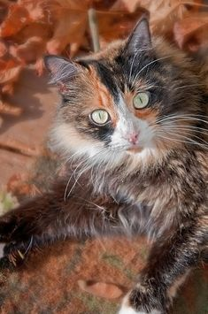 Pretty Green Eyed Calico Cat