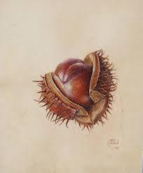 Image result for chestnut botanical illustration coloured pencil